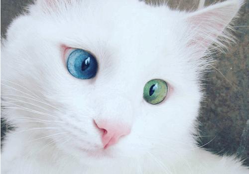 alos,chat,yeux,vairons,chat,vairon,yeu,vairon,chat,yeux,bleus,chat ,blanc,sourd,chat,aux,yeux,bleus,les,yeux,vairons,chat ,blanc,oeil,vairon,yeux,veron,vairon