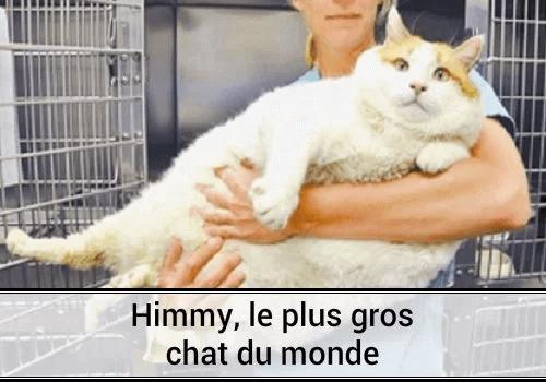 Gros Chat Du Monde himmy, le chat le plus gros au monde. | des hommes et des chats