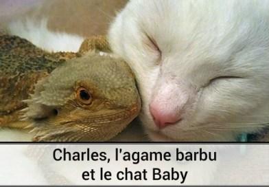 Charles l'agame barbu et le chat Baby