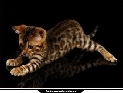 Chat leopard chat bengal prix chat du bengal prix chaton - Chaton bengal gratuit ...