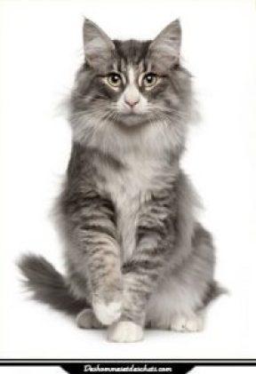 le chat norv gien des hommes et des chats. Black Bedroom Furniture Sets. Home Design Ideas