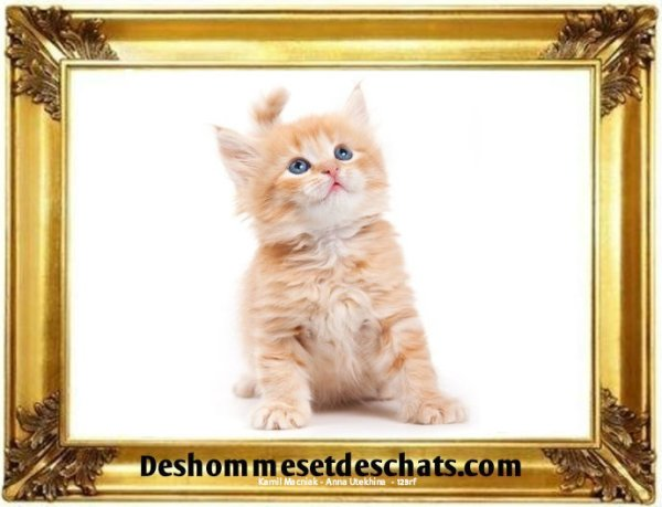 photos chatons photos de chatons photo animaux image chat maine coon chaton chat menkoun image chaton images de chatons foto de chat foto chat photo chat chaton mignon chat mignon