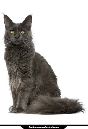 chat maine coon prix chat menkoun prix maine coon maine coone chaton maine coon chat photo maine. Black Bedroom Furniture Sets. Home Design Ideas