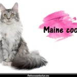 Le maine coon, un grand chat