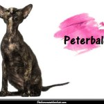 Le Peterbald, une race de chat nu