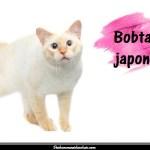 Le Bobtail japonais