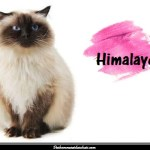 Le chat Himalayen