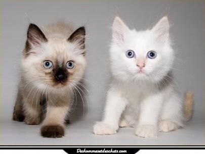 Himalayan chat persan himalayen persan chat himalayen prix chats persans chat persan blanc image - Chaton persan gratuit ...