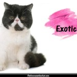 Le chat Exotic