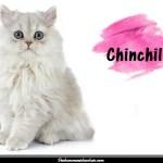 Le Chinchilla, une variété de chat persan