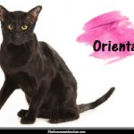 Le chat Oriental