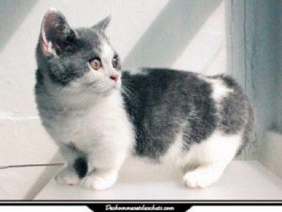 Le munchkin une race de chat miniature des hommes et - Prix chat munchkin ...