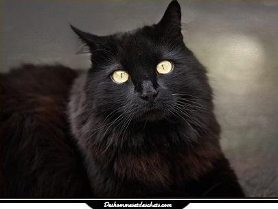 photo chat angora turc prix chat turc chaton angora turc blanc chat turque  chat angora blanc chat turc angora chat angora prix angora chaton chat noir  photo