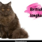Le British longhair