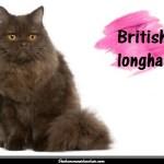 Le British longhair