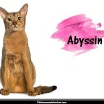 Le chat Abyssin également appelé chat lapin ou bunny cat