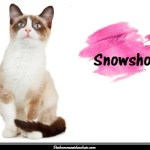 Le Snowshoe également appelé le chat raquette