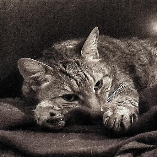 photo de chat image noir et blanc photo noir et blanc poster noir et blanc photographie noir et. Black Bedroom Furniture Sets. Home Design Ideas