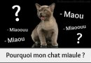 Le miaulement du chat