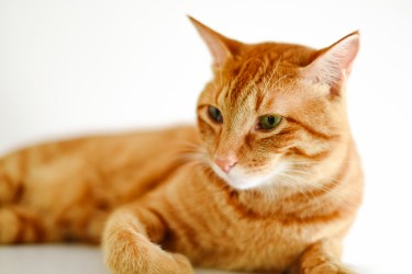 猫の鳴き声で気持ちを知ろう!「クルル」と鳴くときの気持ちを解説