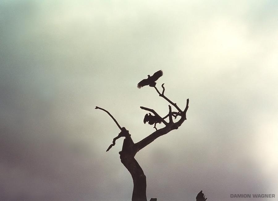 Crows Cuba