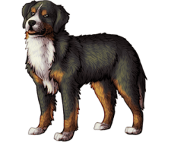 Bermese Mountain Dog