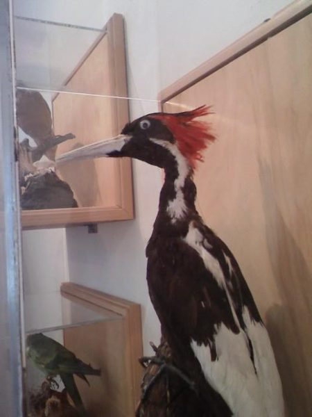 Ivory Billed Woodpecker Exhibit at Discovery House museum at Honey Horn Plantation & Coastal Discovery Museum