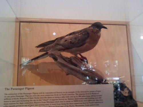 Passenger Pigeon Exhibit at Discovery House museum at Honey Horn Plantation & Coastal Discovery MuseumThe extinction of the Passenger Pigeon will be remembered forever as an example of the destructive power...