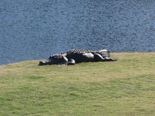 Alligator on the golf course