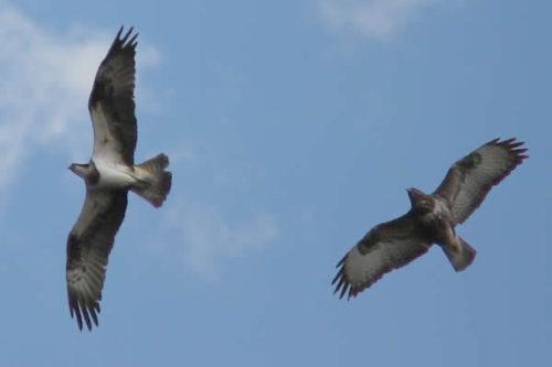 Easy Birds to See on Hilton Head Island: Osprey Flying Photo by Artur Mikołajewski, modified from Wikimedia Commons