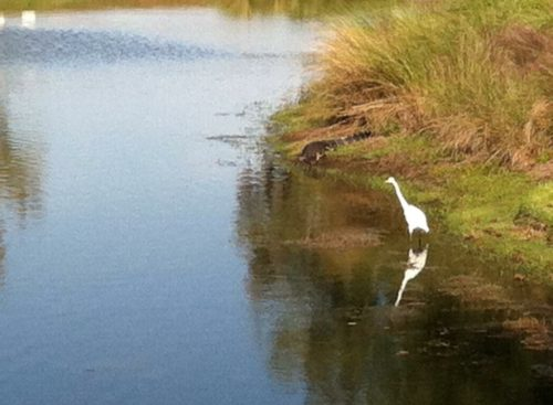 Easy Birds to See on Hilton Head Island: White Phase Great Blue Heron and an Alligator at Blue Water Resort