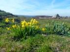 hope mountain waun y llyn daffodils