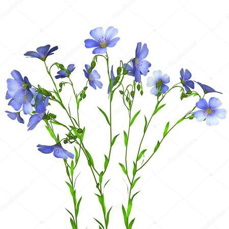 len nákres rostliny