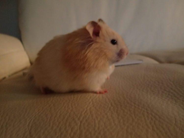 teddy bear hamster, Timbit