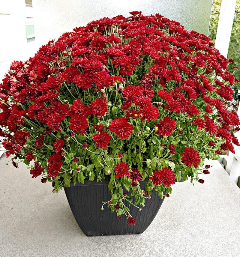 chrysanthemums\mums|flowers|fall flowers|Burgundy flowers