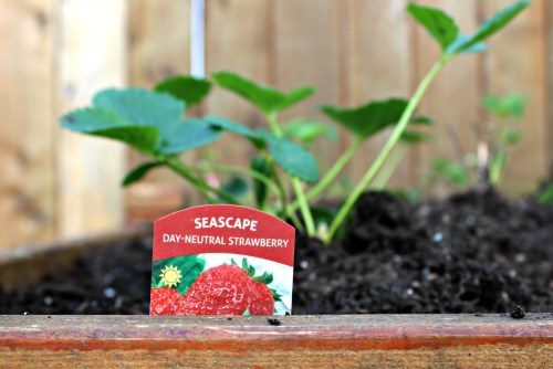 Strawberry garden, Strawberry experiment. Seascape day neutral strawberries