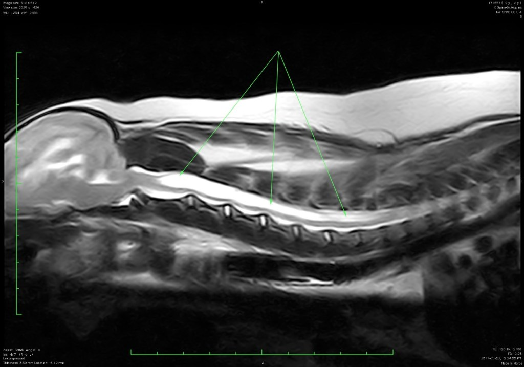 MRI, Dog MRI, Syringohydromyelia, neurology for dogs