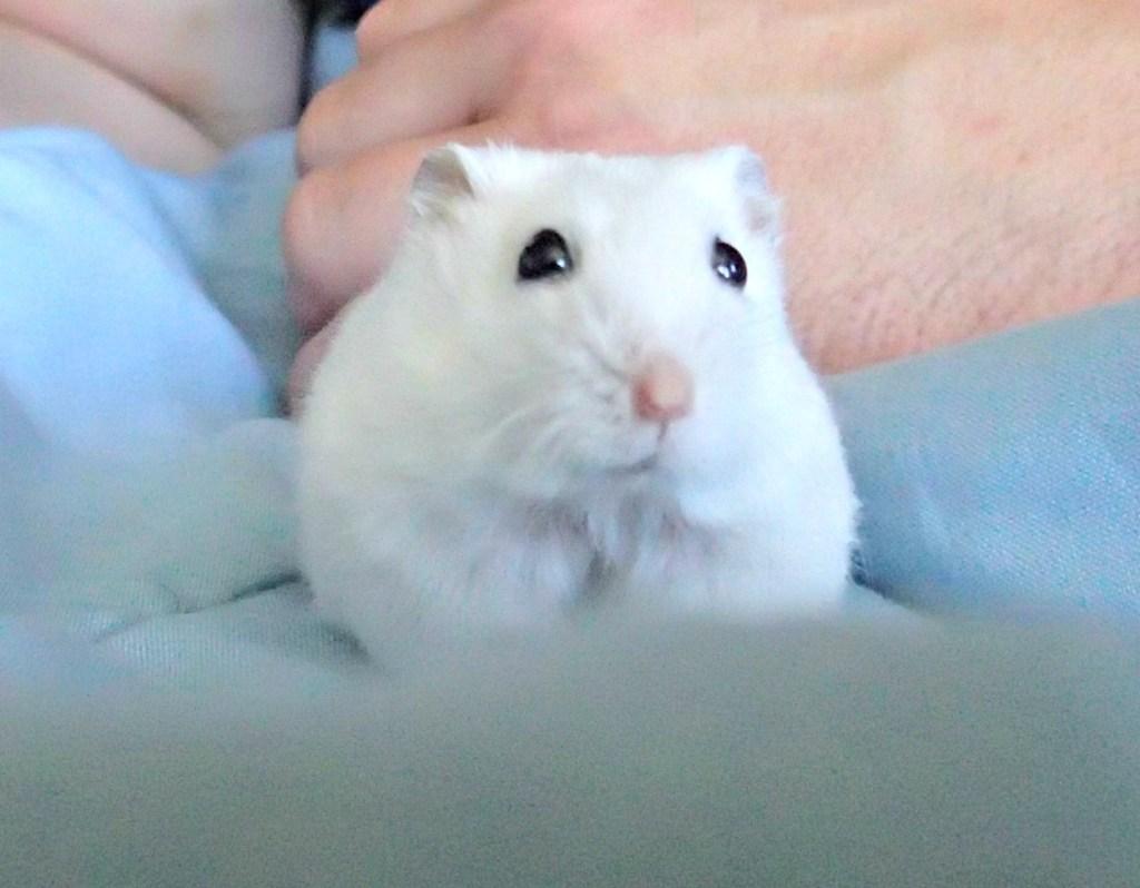 Dwarf hamster, white hamster, Gizmo, Gizzy