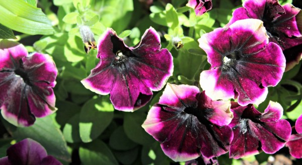 petunias blackberry cheesecake petunias