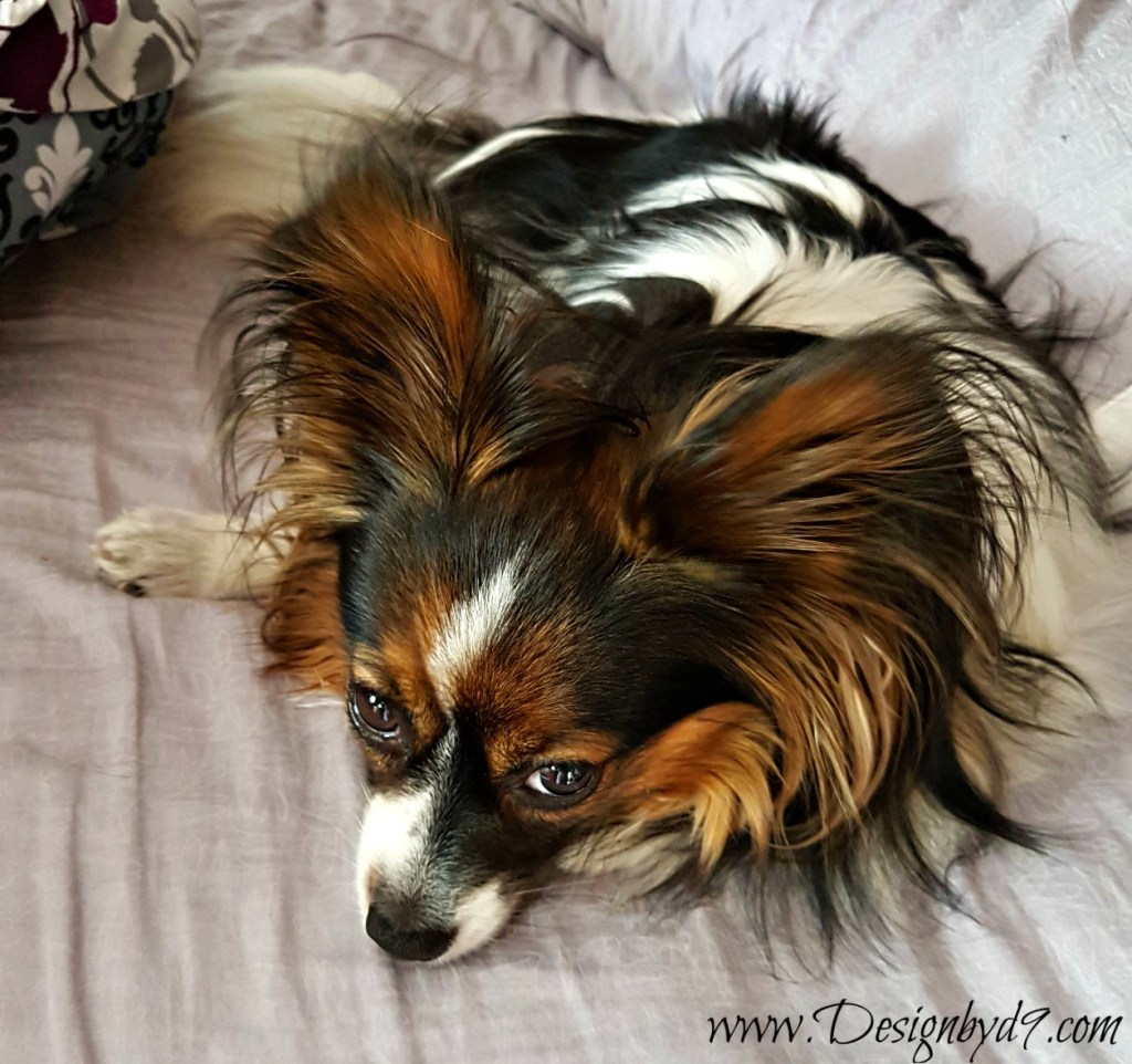 papillon | dog in the bed| shopping for duvet covers