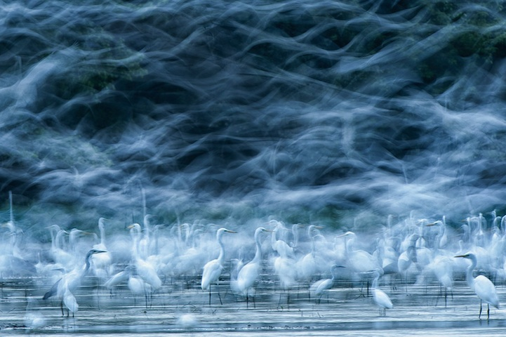 Flying Egrets - 2013-11-30_238581_nature.jpg