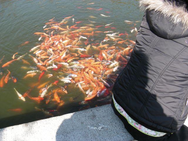 Poissons dans l'étang de la maison de maître Zhu