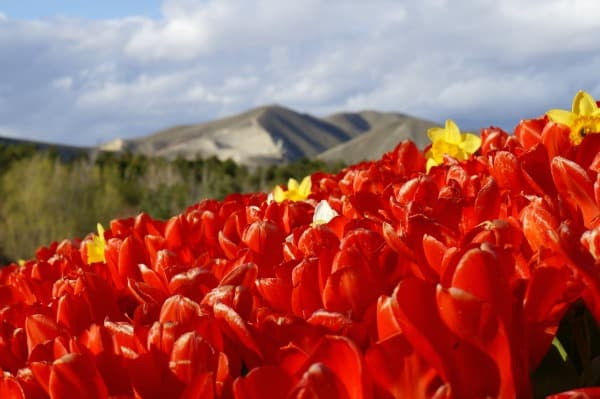 Tulip Festival- tulips with a mountain view