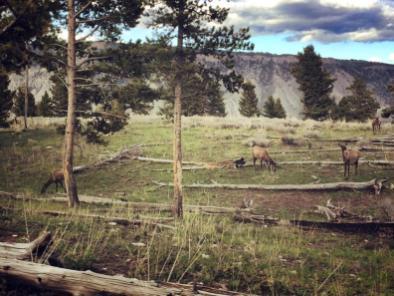 Yellowstone Park -De ce să eviţi atracţiile cu animale