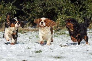 Cavalier King Charles Spaniels running in the snow