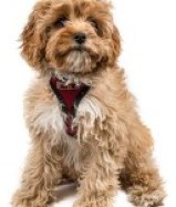 Cavoodle with red harness