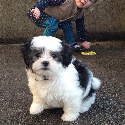 MalteseXShihTzu puppy with child