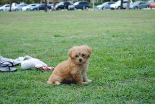 Moodle puppy at the park