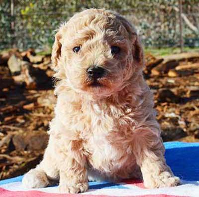 apricot-poochon-puppy-in-the-sun