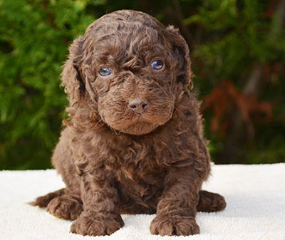Groodle puppy chocolate
